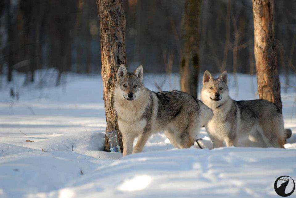 Чехословацкий влчак: универсальная служебная собака