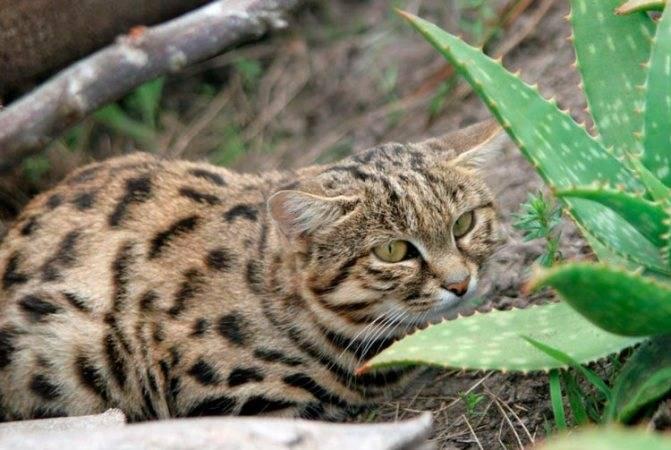 Африканская дикая черноногая кошка: цена, уход в домашних условиях
