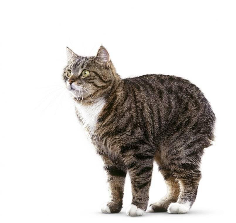 Мэнкс (мэнская кошка): описание породы, характер, советы по содержанию и уходу, фото