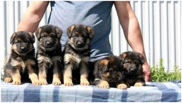 Топ-10 самых агрессивных пород собак по версии сайта vashipitomcy.ru