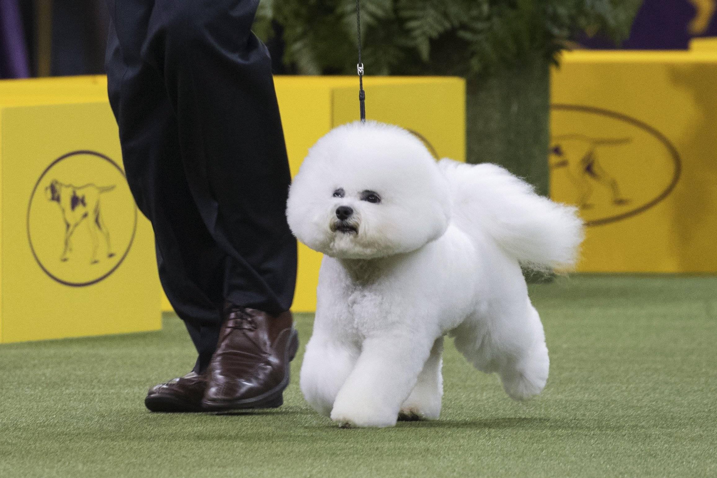 Бишон фризе — описание породы   dog-care - журнал про собак