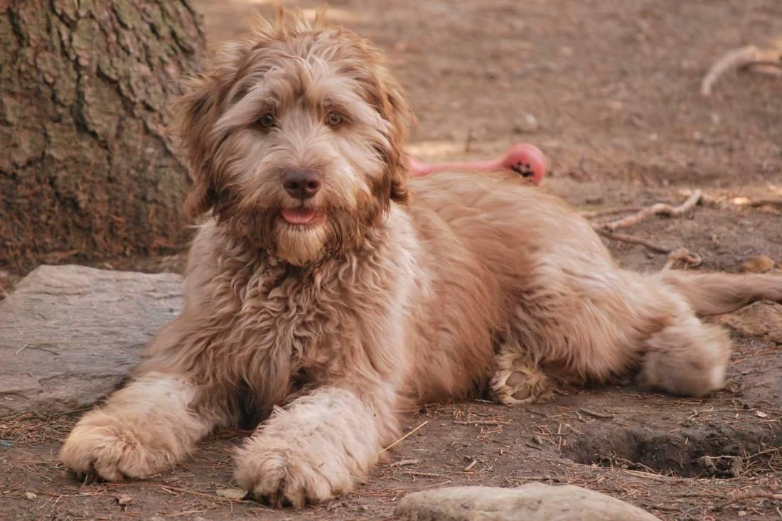 Порода собак лабрадудель и ее характеристики с фото