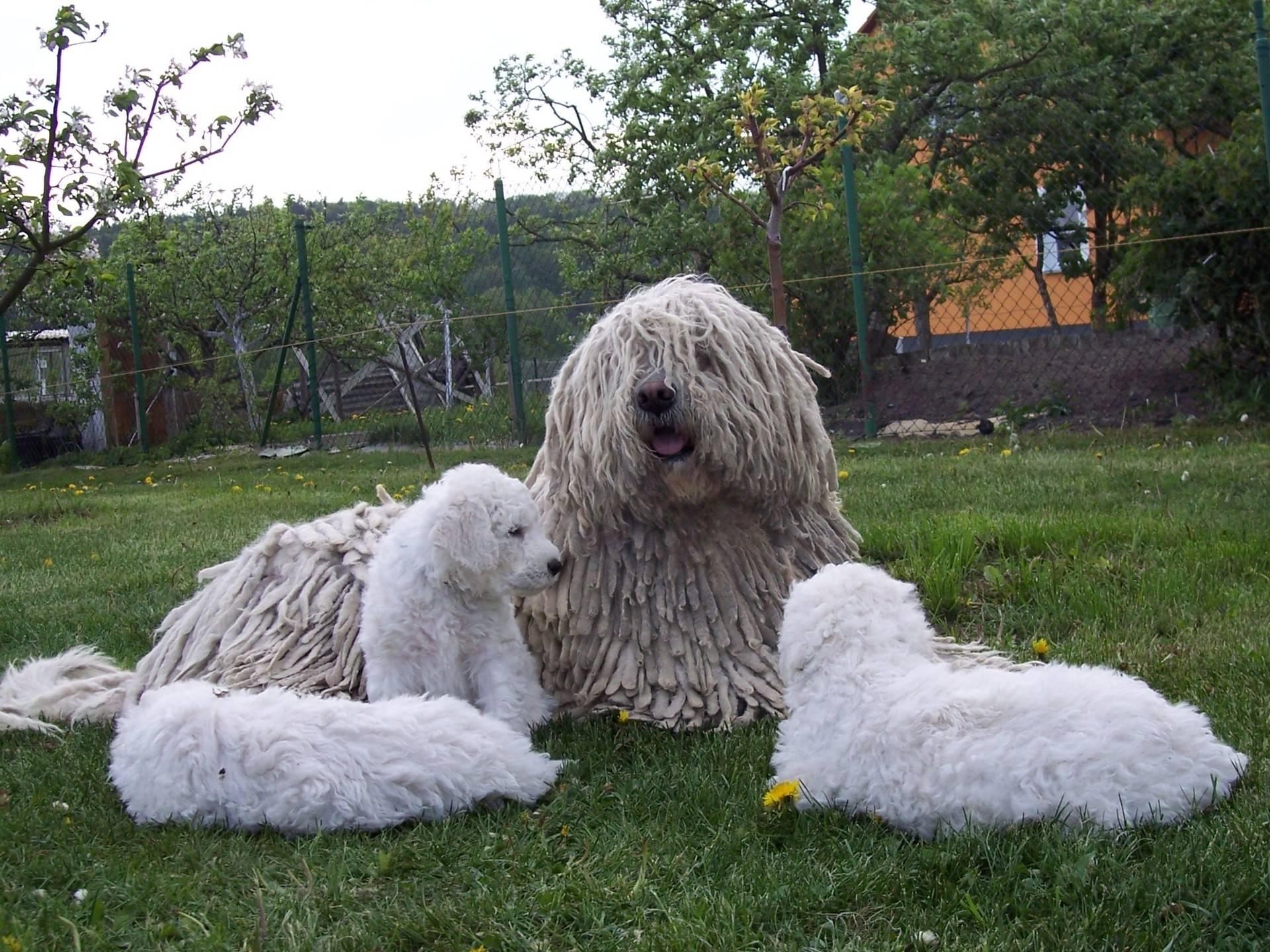 Комондор, венгерская сторожевая овчарка: стандарт породы и характер, особенности ухода и дрессировки