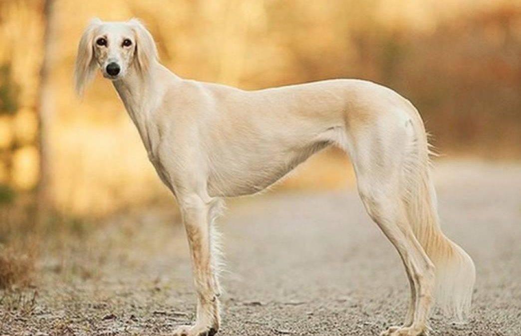 Салюки, порода собак - персидская борзая
