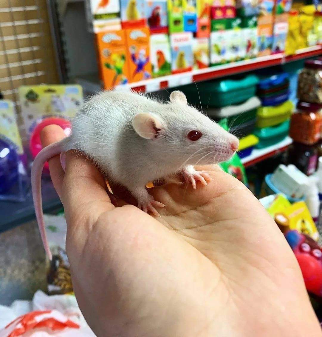 Грызуны. зрение крыс: видят ли они как мы?