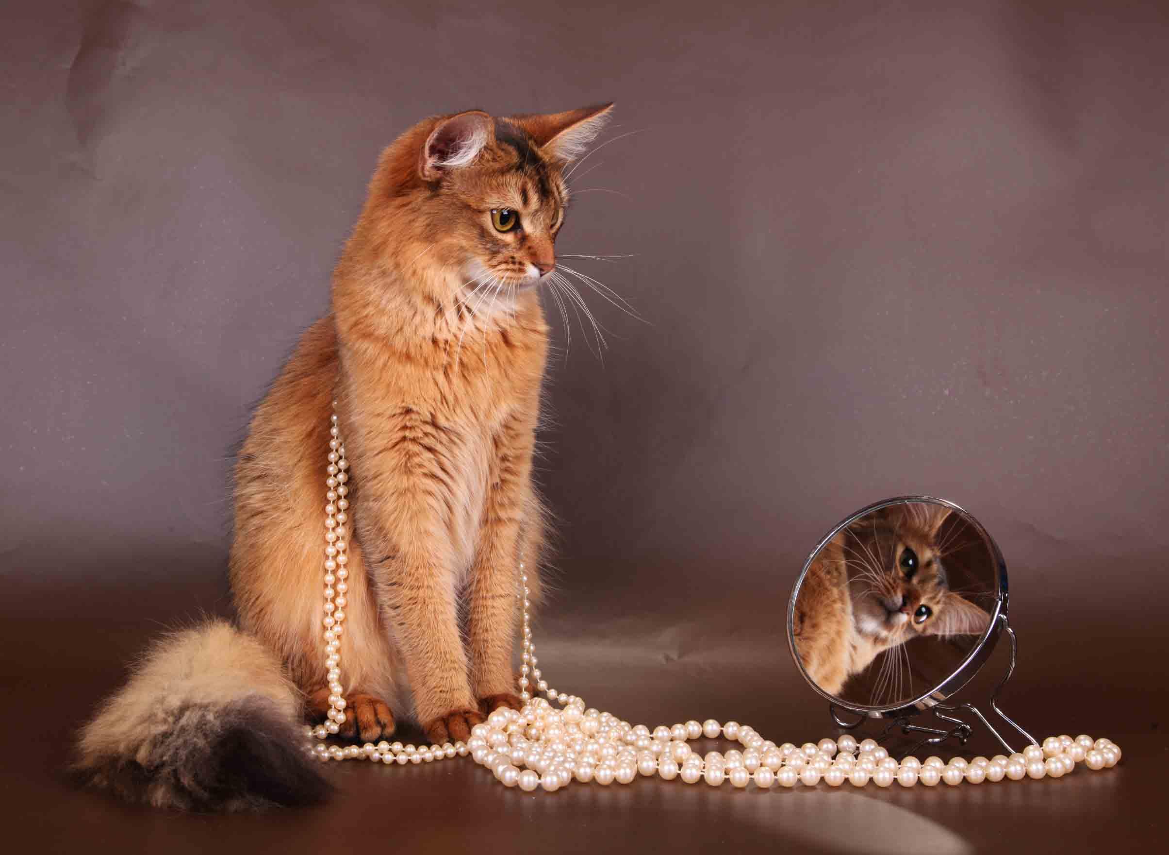 Сомалийская кошка: описание породы, фото, цена, отзывы