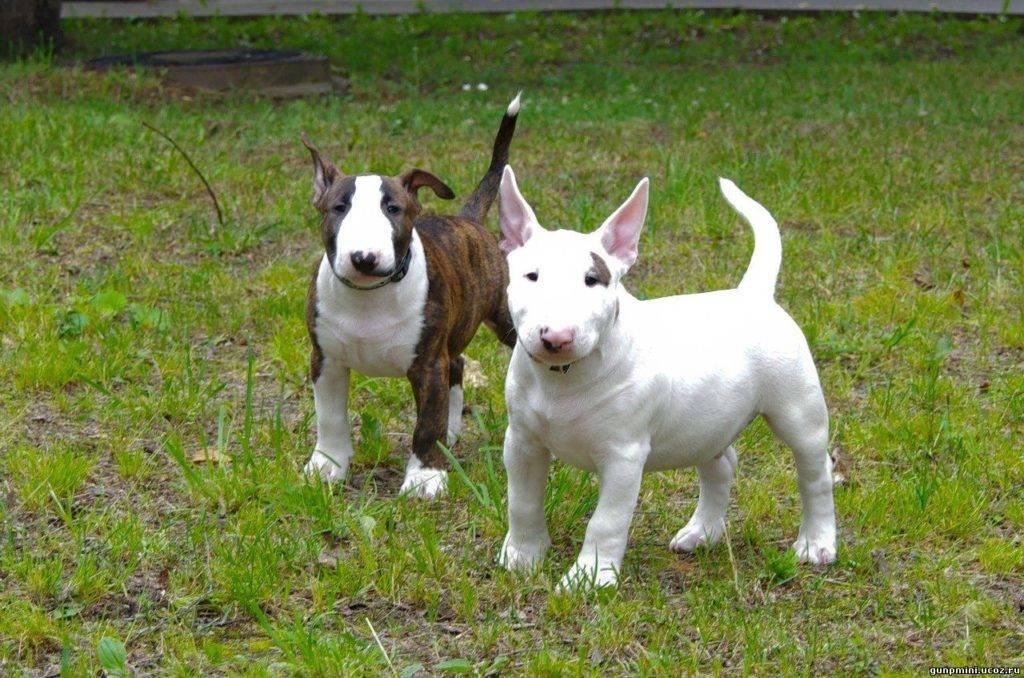 Миниатюрный бультерьер - история появления и характер собаки, выращивание и воспитание щенков