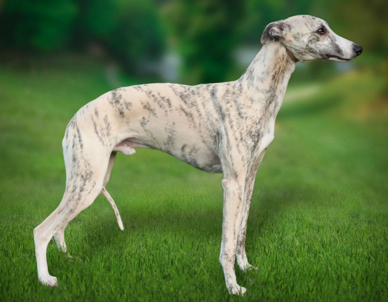 Уиппет: фото, описание породы, характер собаки и отзывы
