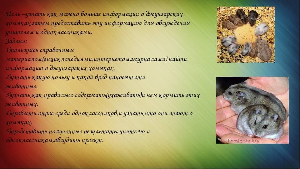 Джунгарский хомячок (джунгарик) — фото, содержание, отзывы
