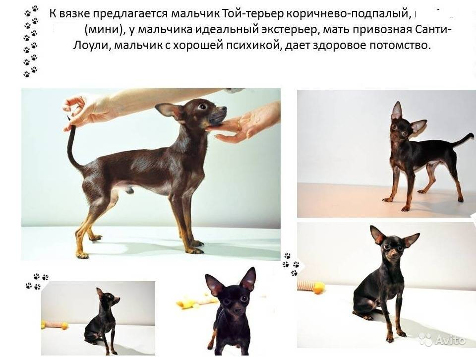 Описание внешности русских той-терьеров: поведение, уход и содержание породы