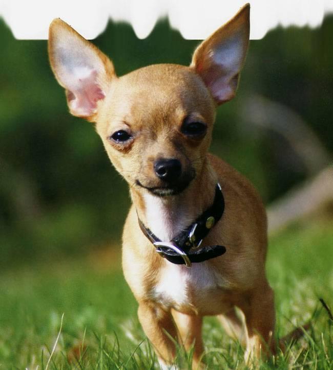 Чихуахуа — порода собак