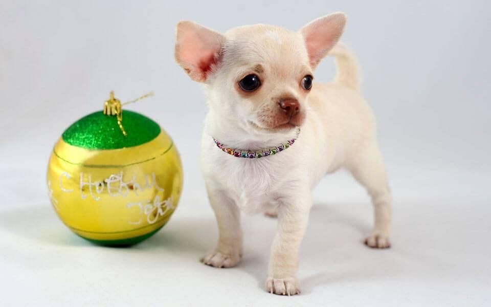 Породы собак маленькие с фото. самые популярные маленькие породы собак