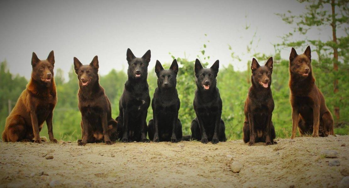 Австралийский келпи: характеристика породы. универсальный пастух — порода собак австралийский келпи