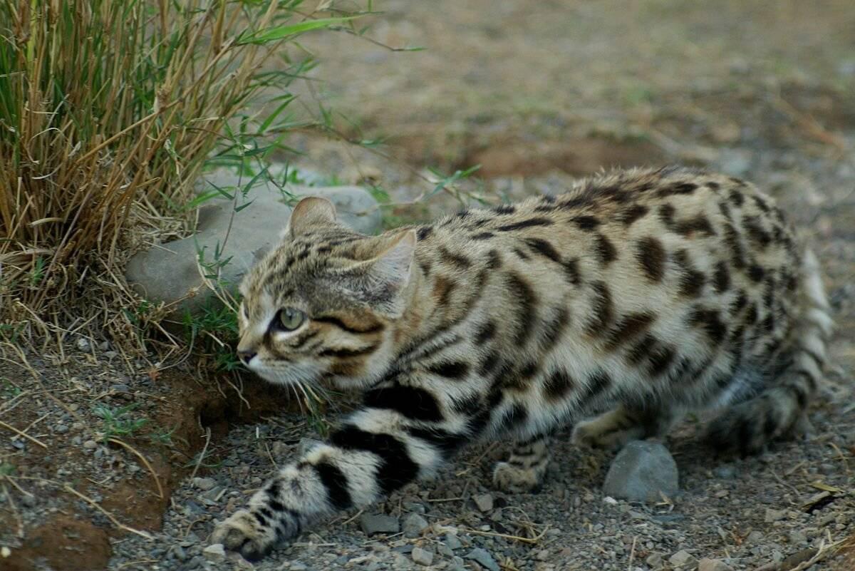 Дикие африканские кошки: описание внешности и характера