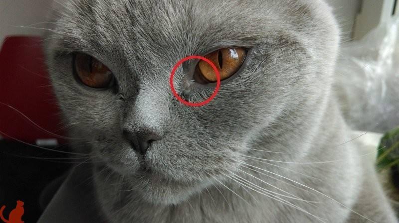 Почему у кошек слезятся глаза – причины, симптомы, лечение рубрика: здоровье кошки
