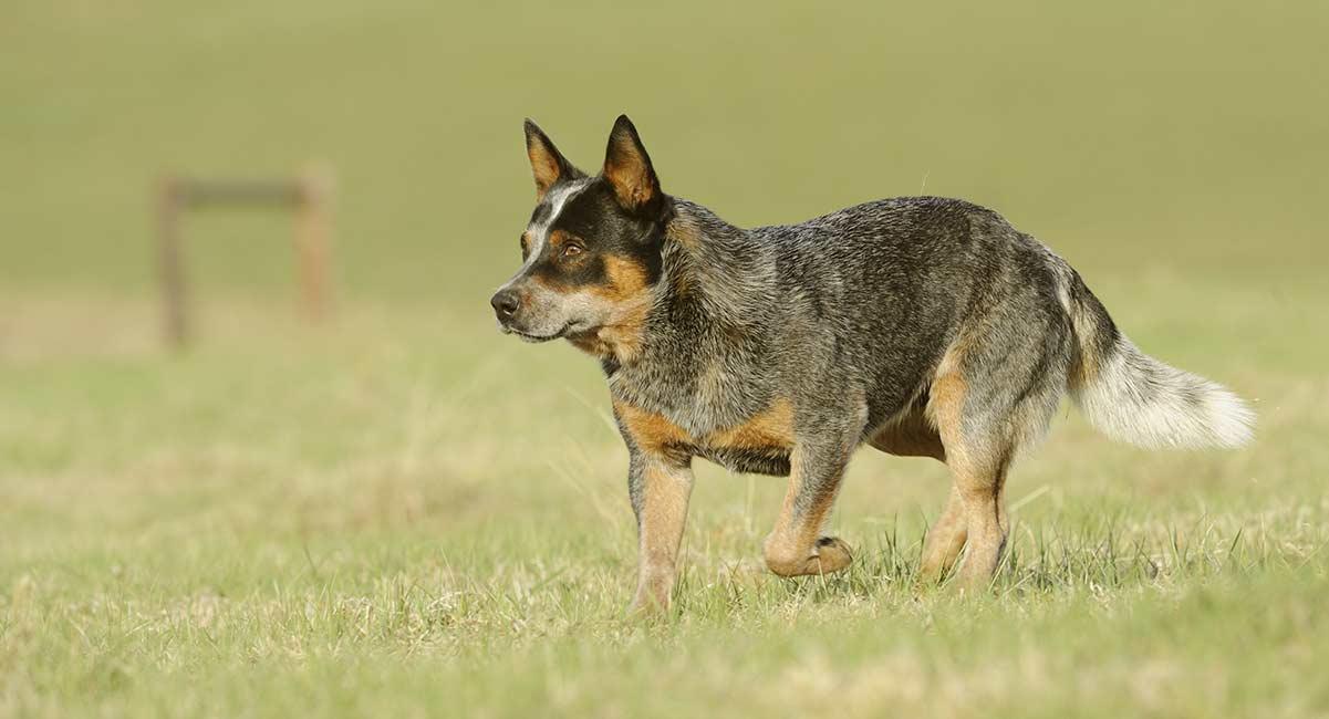 Австралийская пастушья собака (хилер): описание, фото, характер, особенности ухода