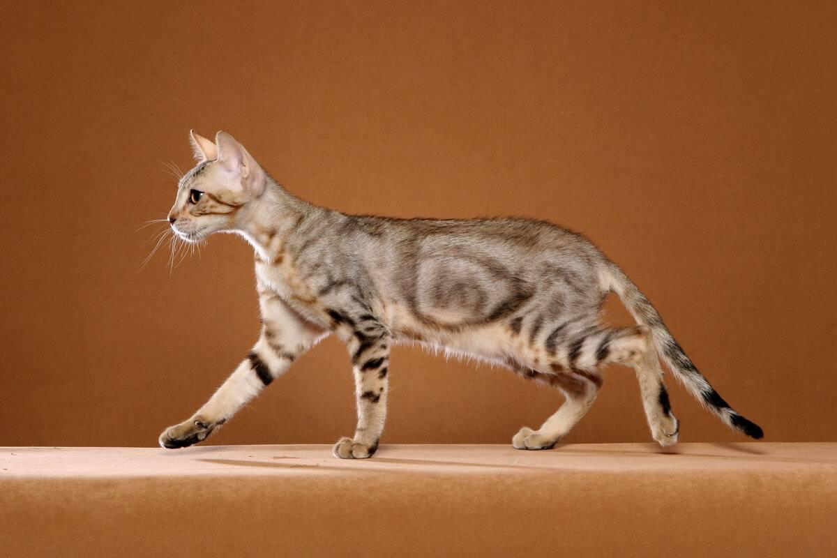 Кенийская лесная кошка сококе: происхождение, внешний вид, уход