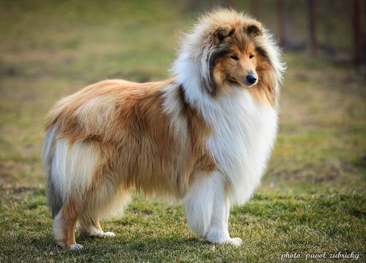 Колли собака - 80 фото самой роскошной длинношерстной овчарки