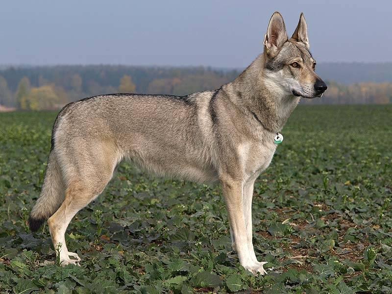 Вольфхунд собака