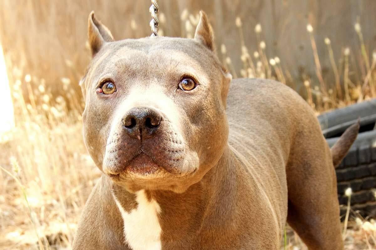 Бойцовские собаки: перечень пород, их особенности