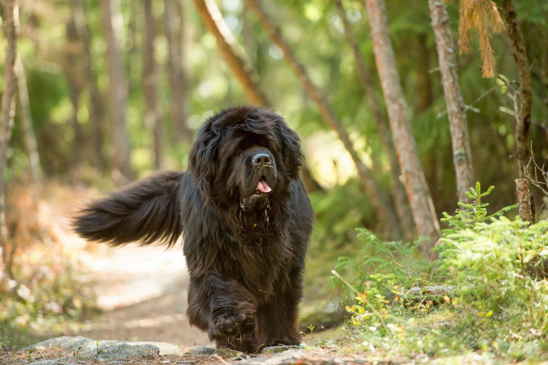 Ньюфаундленд собака. описание, особенности, уход и цена ньюфаундленда | sobakagav.ru