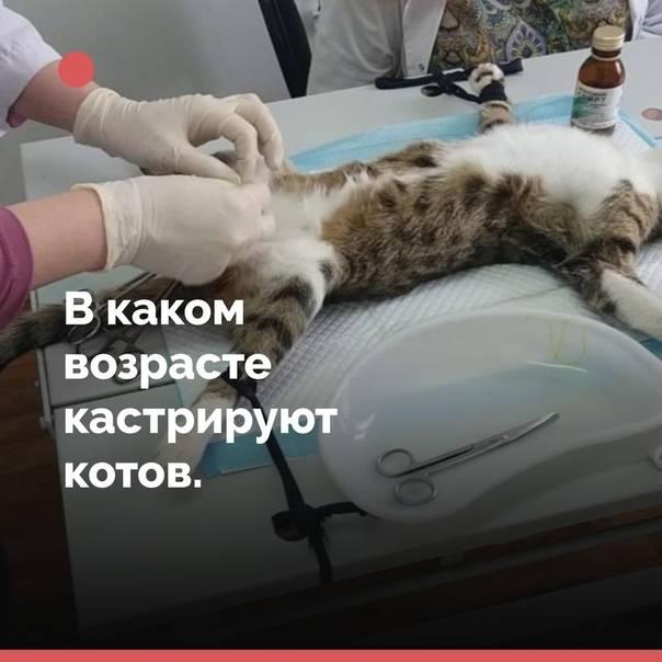 Кастрация британских котов, когда кастрировать, сколько живут после
