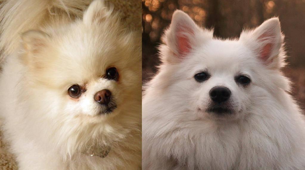 Все о собаках породы шпиц