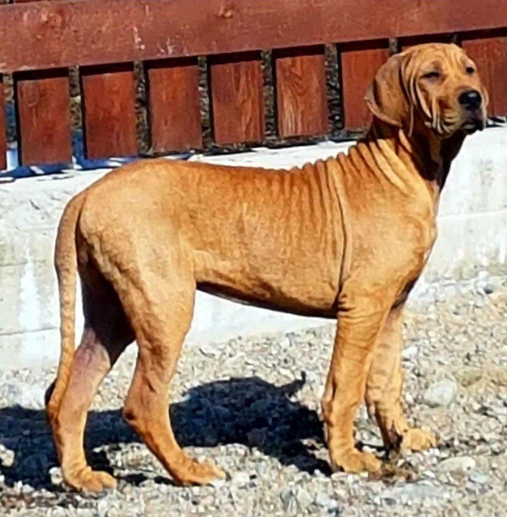 Описание породы собак пакистанский мастиф: характер, уход, предназначение