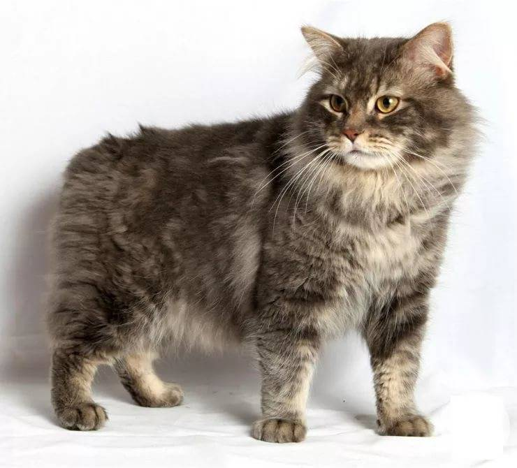Кимрик: описание породы, фото, видео, характер кошек, уход