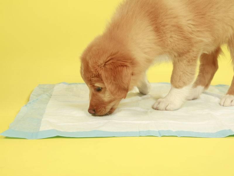 Собака не ходит в туалет по большому – запор у таксы что делать