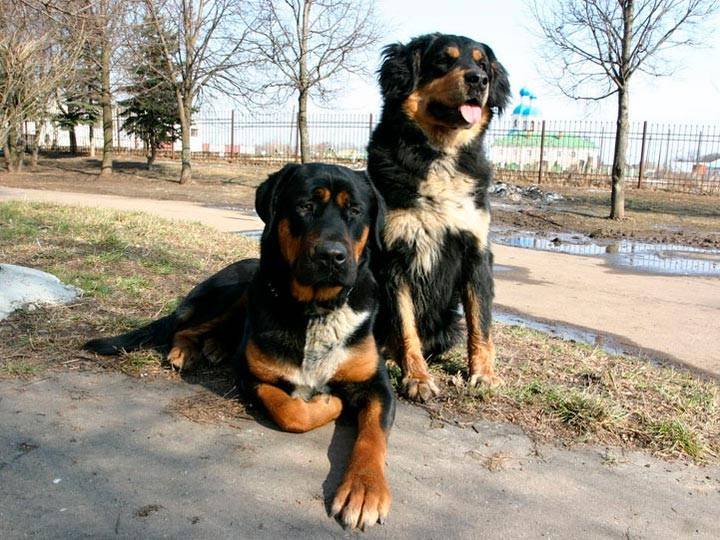 Хотошо собака. описание, особенности, уход и цена породы хотошо | животный мир