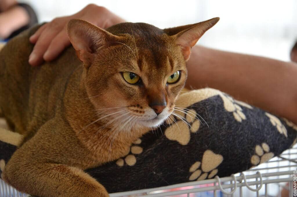Какая порода кошек самая ласковая и ручная для детей: фото и видео