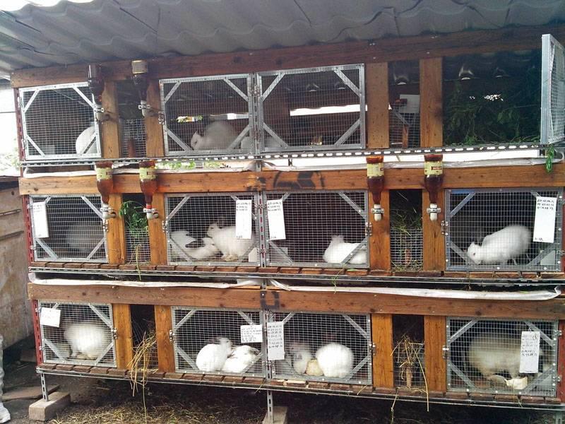 Как начать разведение декоративных  кроликов в домашних условиях с нуля?