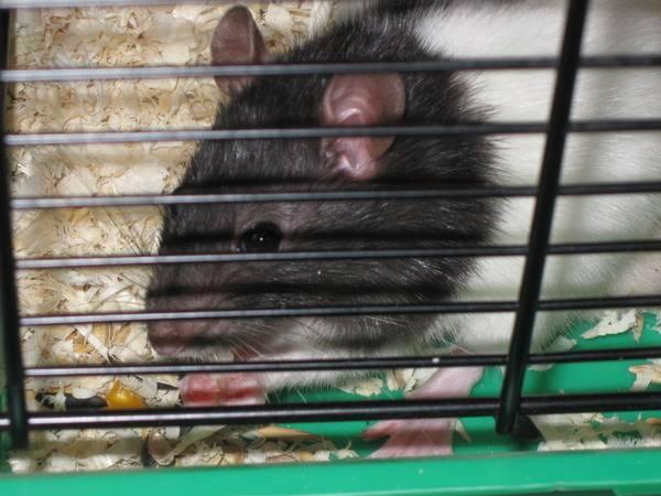 Стоимость декоративных крыс: преимущества и недостатки покупки в зоомагазине
