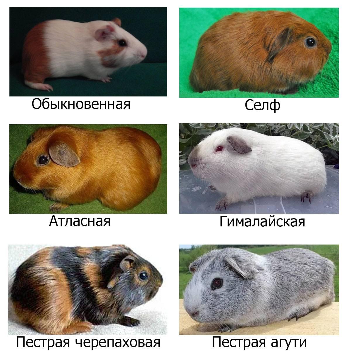 Породы хомяков: описания с фотографиями и названиями пород