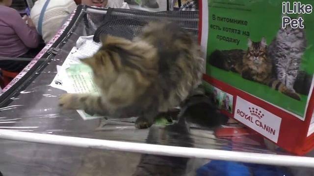 Можно ли кошке стричь когти