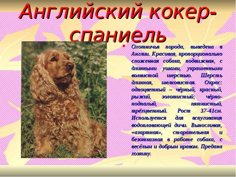 Русский кокер спаниель собака. описание, уход и цена русского кокер спаниеля | sobakagav.ru