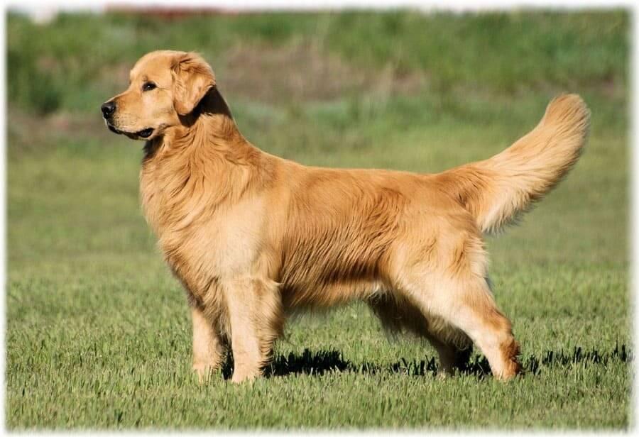 Самые спокойные собаки – одни из самых лучших пород