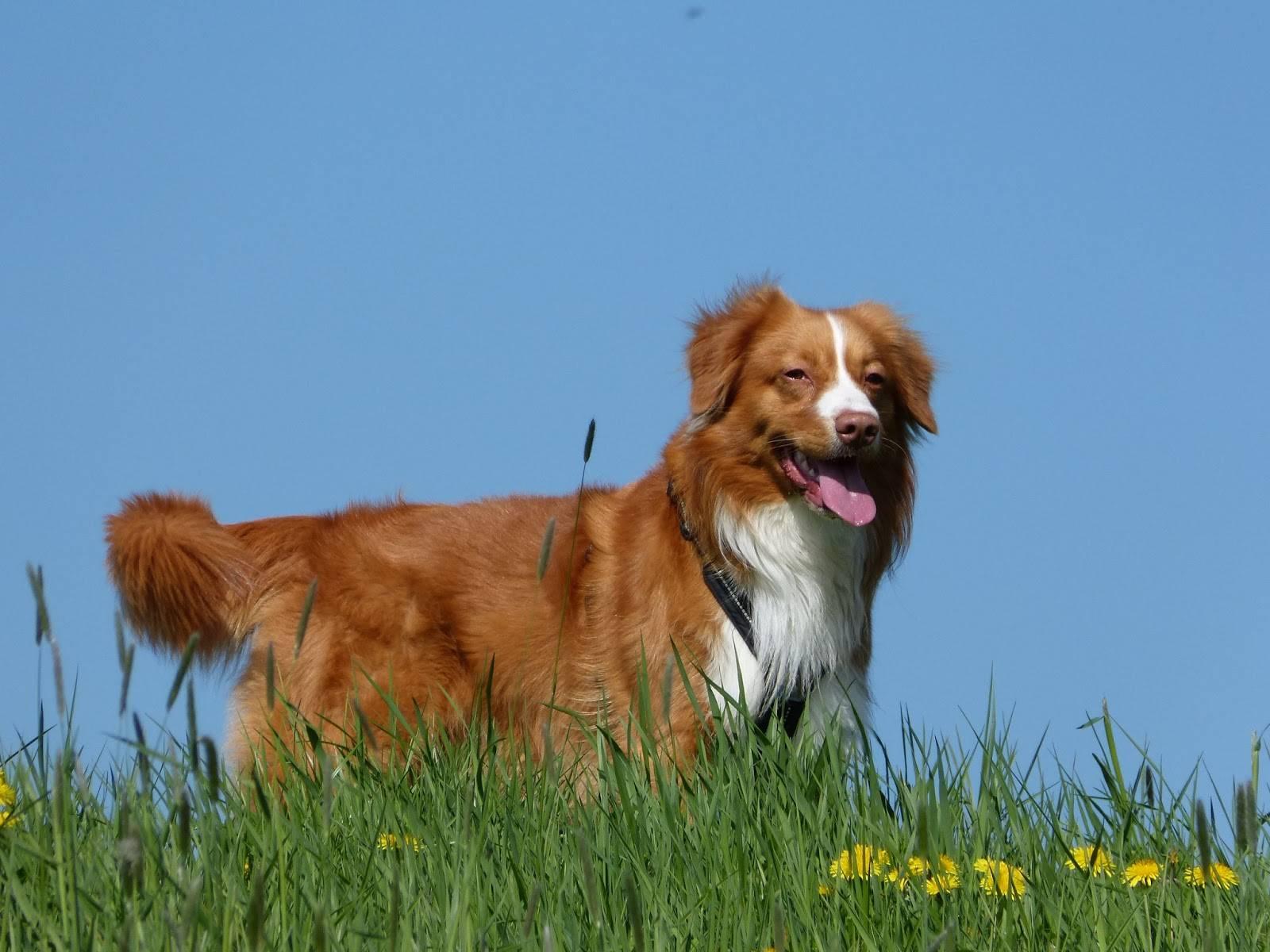 Новошотландский ретривер (толлер): описание породы собак с фото и видео