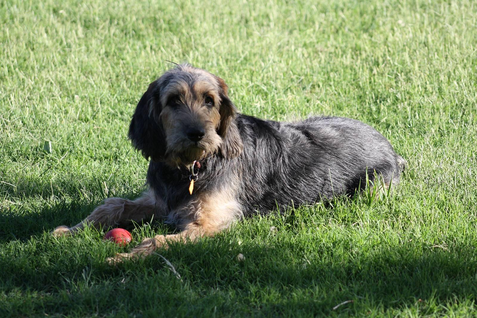 Харьер (английская заячья гончая): описание породы собак с фото и видео