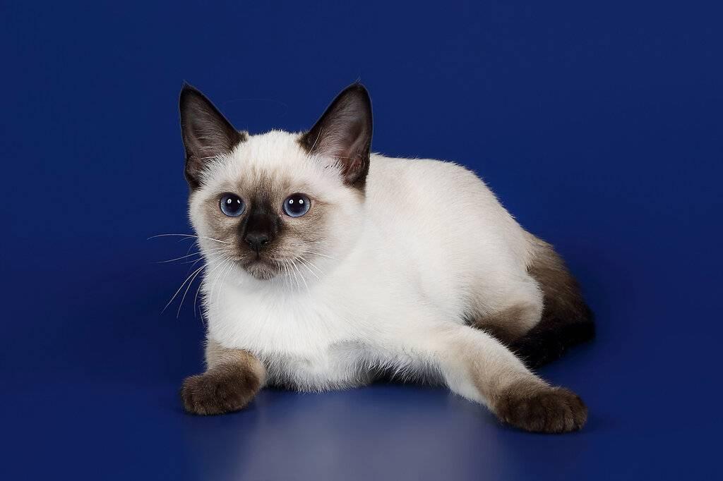 Сиамская кошка. особенности, образ жизни и уход за сиамской кошкой | животный мир