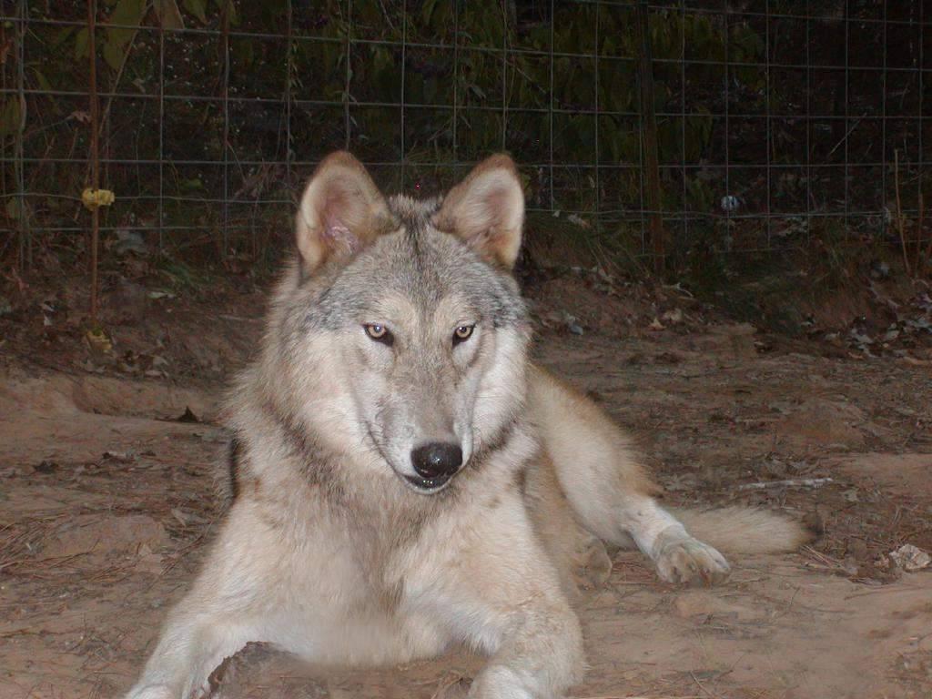 Помеси собаки с волком: особенности волчьей собаки. как выглядит помесь волка и овчарки?