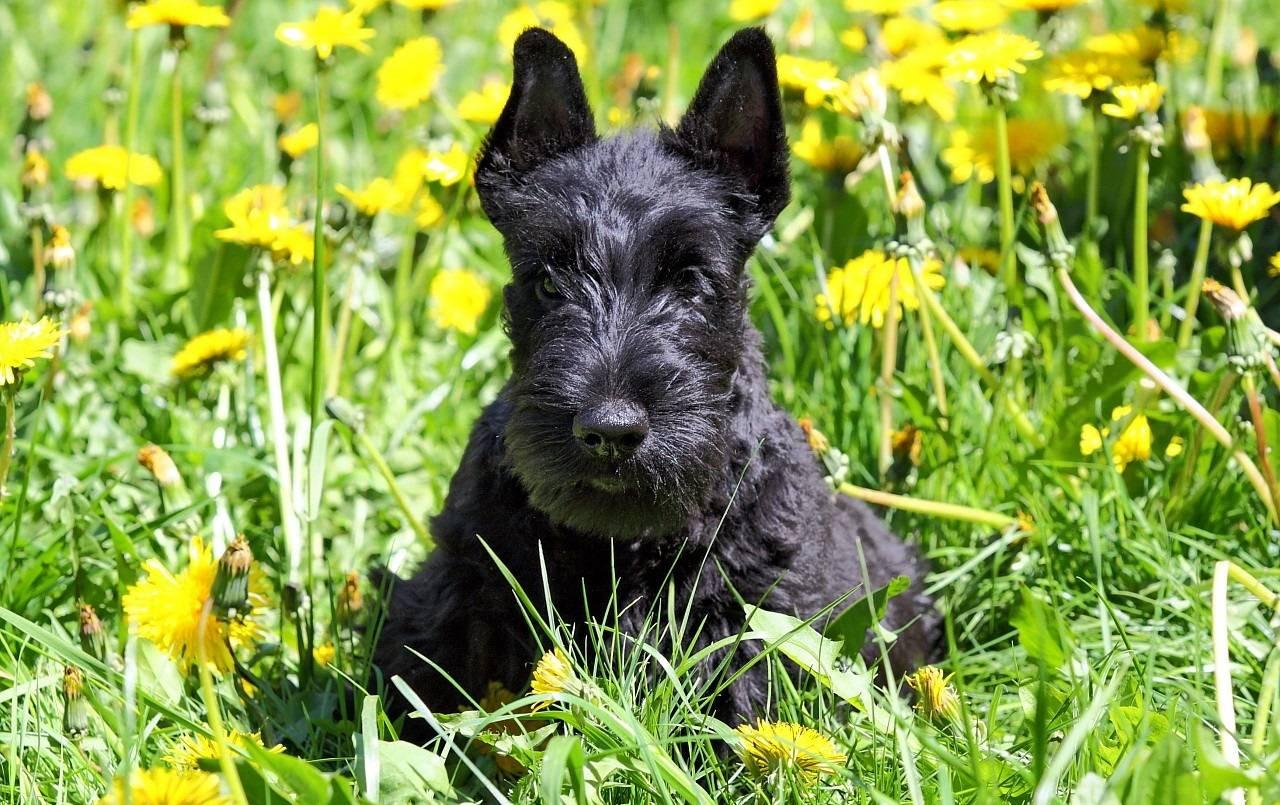 Скотч терьер — описание породы и характера | все о собаках