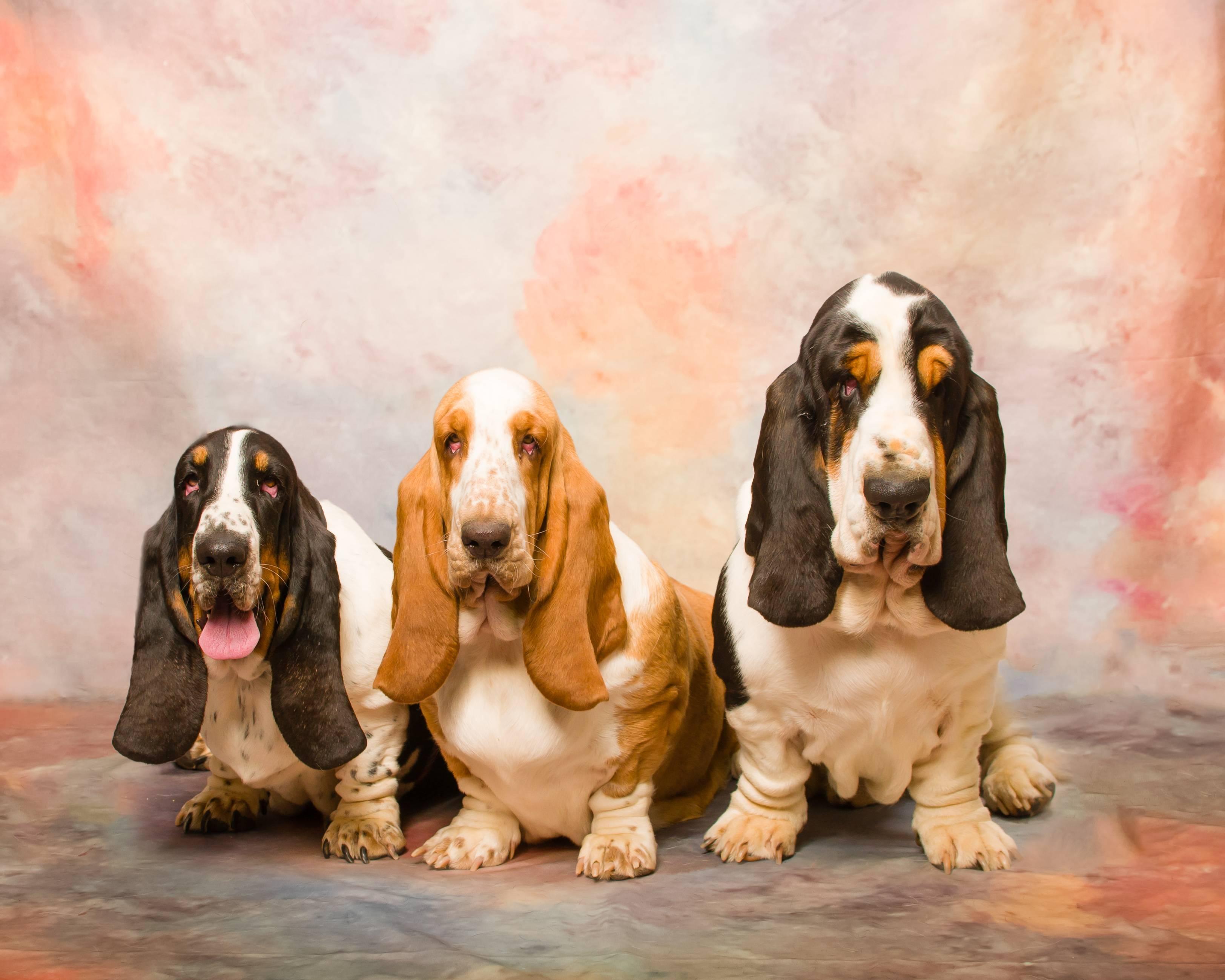 Порода собак бассет-хаунд: фото, описание характер