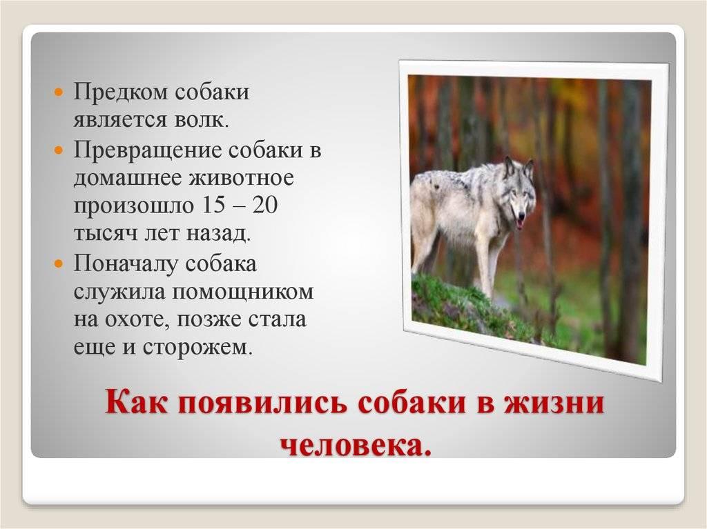 Краткая история происхождения собаки ⋆ все о собаках