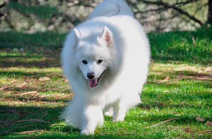 Американская эскимосская собака: особенности содержания и ухода в домашних условиях