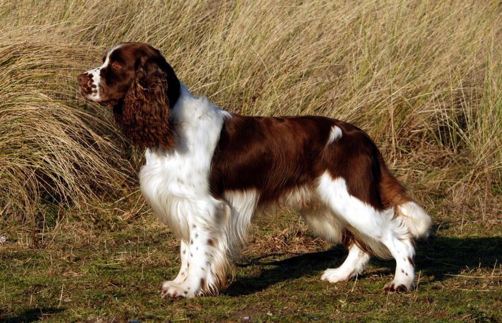 Английские породы собак (32 фото): названия популярных старинных пород из англии, собаки с короткими лапами