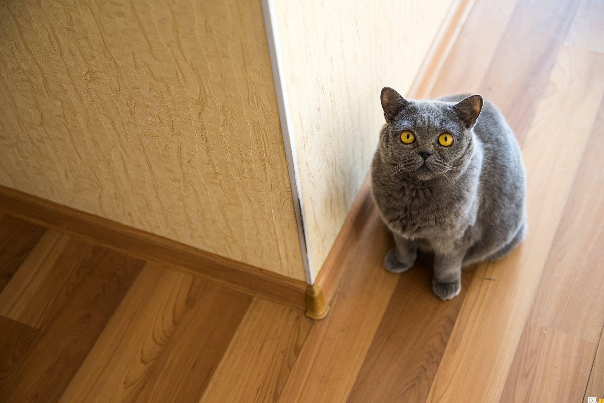 Как отучить кота метить территорию в квартире, почему и что делать