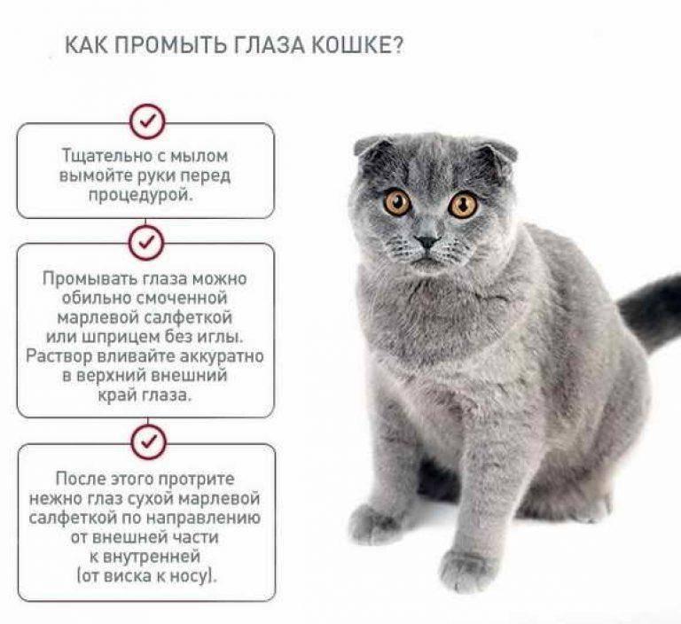 Отличия британских и шотландских кошек: 15 фото, мнение экспертов