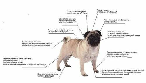 Карликовый (мини) мопс — фото, описание породы, характер, правила содержания и ухода за собакой